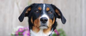 Dog (Image Credit: Dasu_)